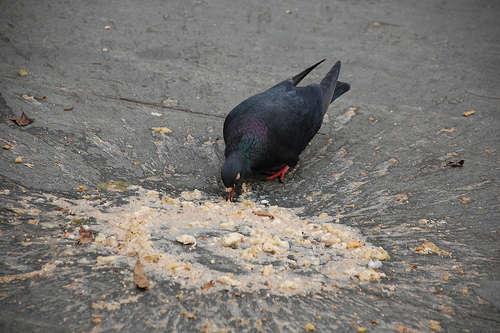 Vomit eating Pidgeon vomit
